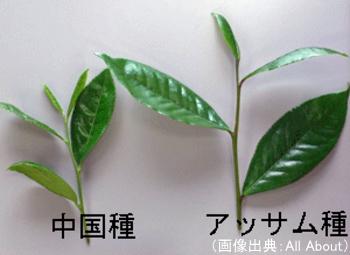 中国種とアッサム種の茶葉