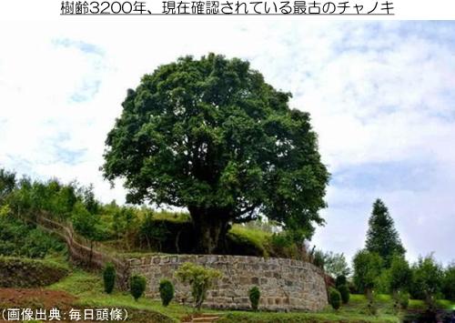 香竹箐大茶樹