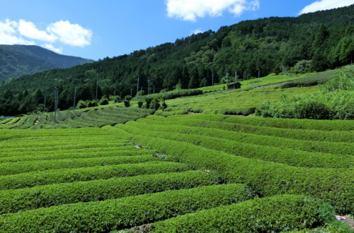 日本の茶畑