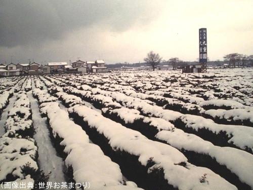 雪で覆われる茶畑