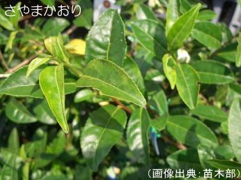 さやまかおりの葉
