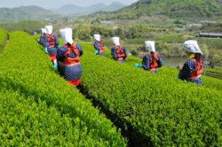 緑茶、紅茶、ウーロン茶、黒茶の作り方!作り方を知って、お茶をより深く味わおう