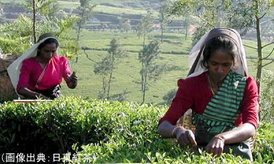 紅茶の手摘み
