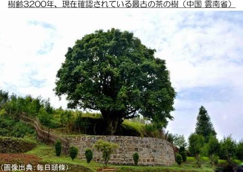 最古の茶の樹「香竹箐大茶樹」