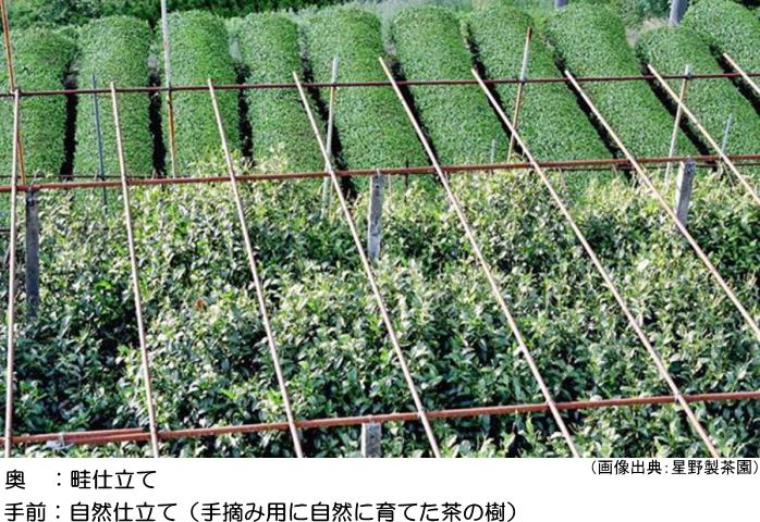 畦仕立てと自然仕立ての茶の樹