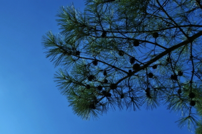 松の枝が風に揺れる様子