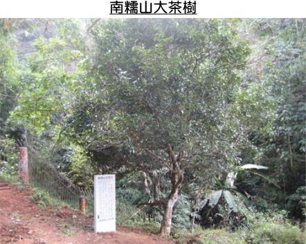 南糯山大茶樹