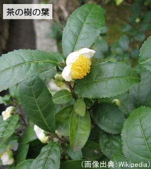 茶の樹の葉