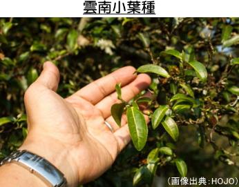 雲南小葉種