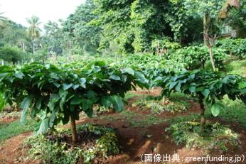 スリランカのコーヒーの木