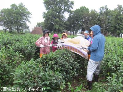 富山黒茶の茶摘み